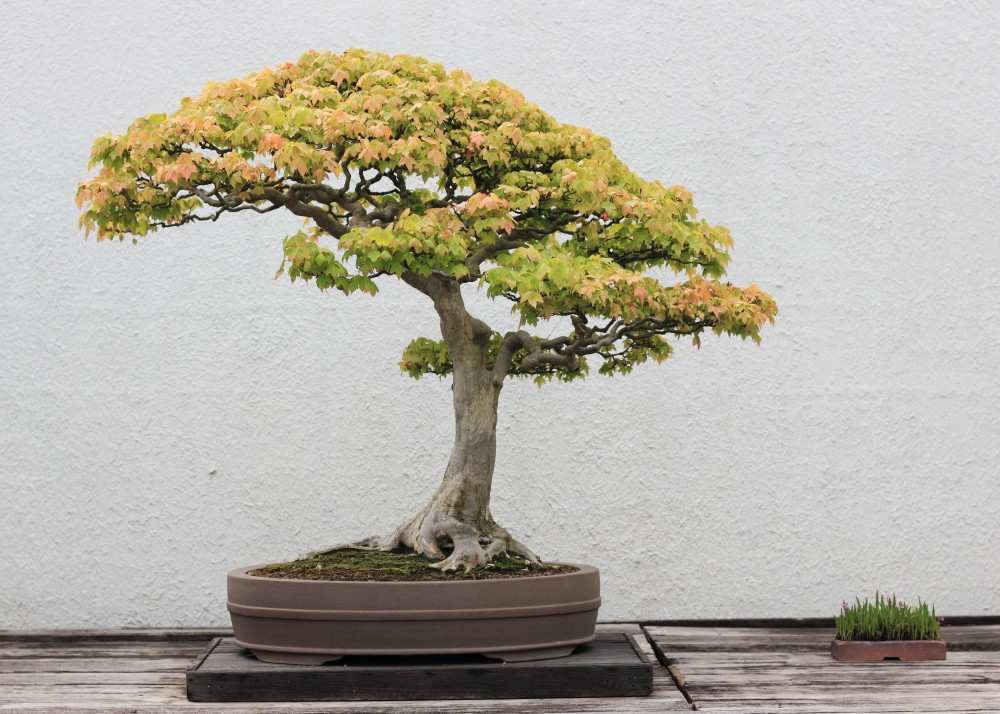 trident-maple-bonsai-tree